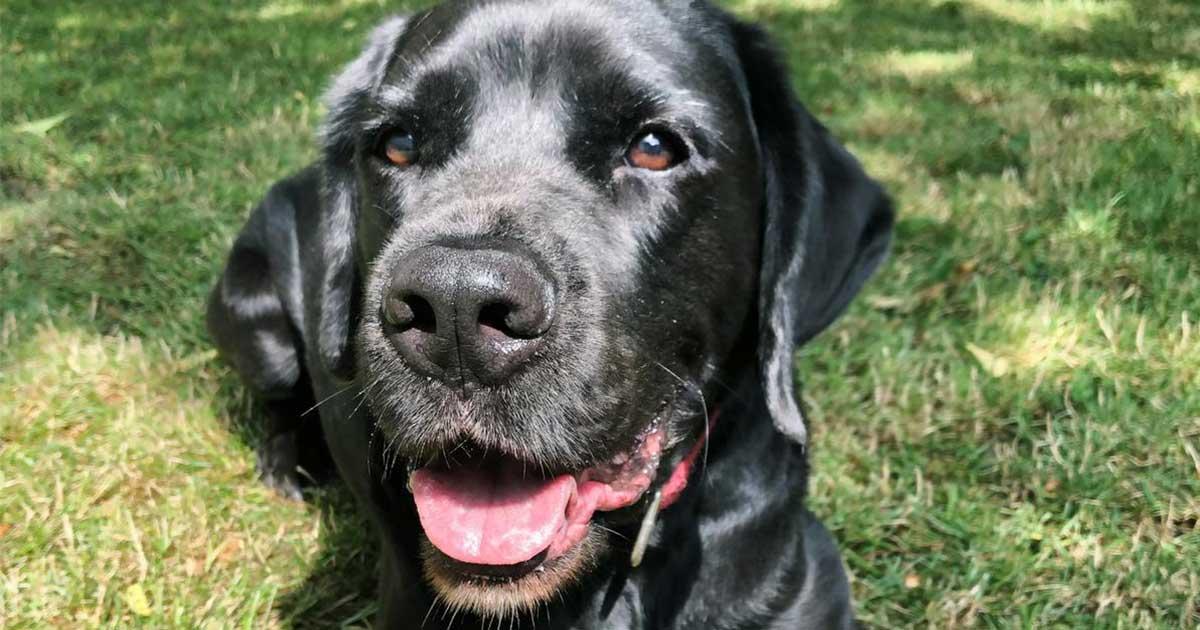 Labrador-Doggen-Mix Ares in der Wiese.