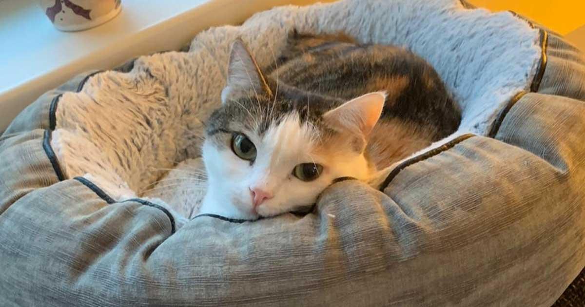 Helle Katze liegt im Körbchen