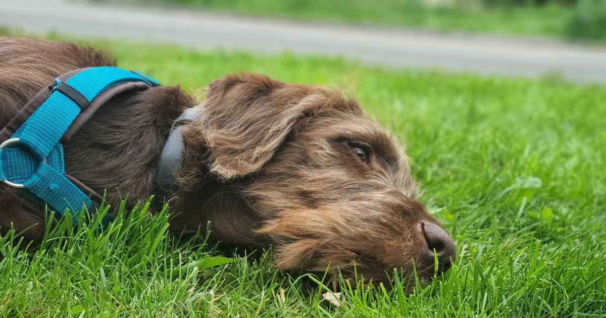 Labradoodle liegt im Gras